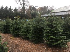 CLICK HERE FOR YATTENDON CHRISTMAS TREES
